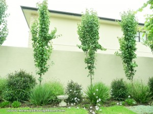 Manchurian pears under-planted with Mediterranean plants in contemporary back garden design