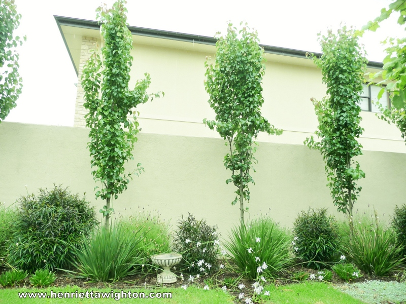 Garden Design Adelaide Manchurian Pears Underplanted With