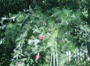 Creating a  native Australian garden
